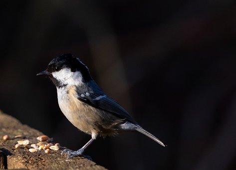 Coal Tit, Coaltit, Feeding, Small Bird, Black, Tit