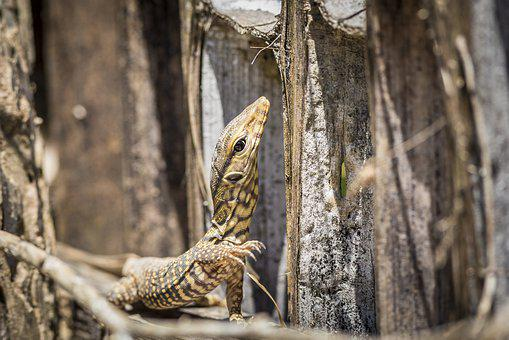 Asian Water Monitor, Cruel, Spotted