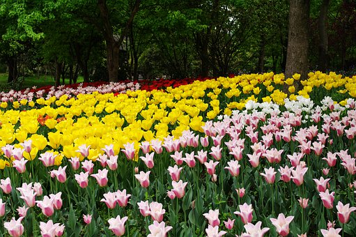 Tulip, Tree, Spring, Flowers, Flower, Pink, Plant