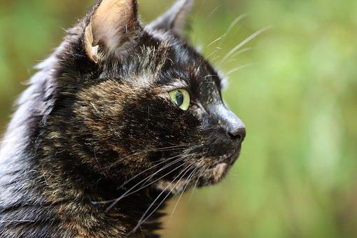 Cat, Tortoise Shell, Cat Portrait, Domestic Cat, Pet