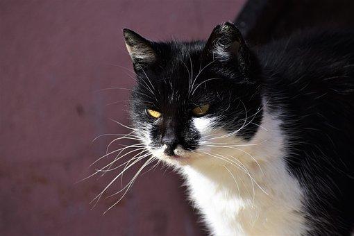 Cat, Tomcat, Home, Portrait, Pet, Animal