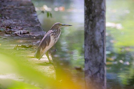 Chinese Pond Heron, Ardeola Bacchus, Thailand, Khao Lak