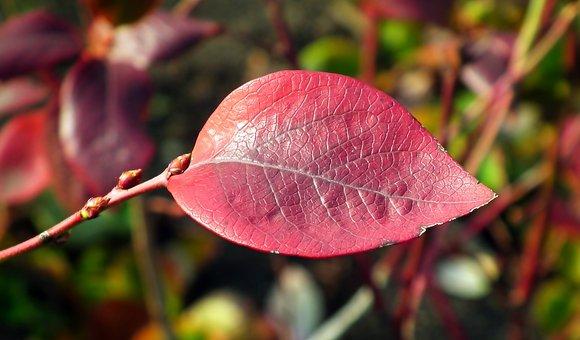 Leaf, Blueberries American, Autumn, Red, Decorative