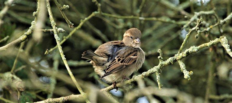 Bird, House Sparrow, Songbird, Nature, Plumage