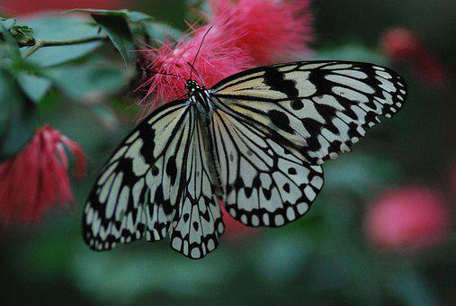 Butterfly, Beautiful, Spread Wings, Black, White