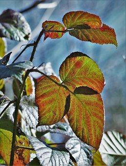 Plant, Bush, Bramble, Leaves, Back, Spur, Sun