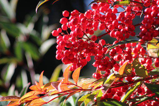 Berry, Sky Bamboo, Red, Nature, Fruit, Bush, Plant