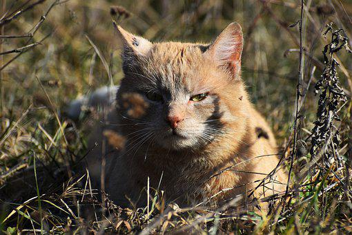 Cat, Tomcat, Home, Portrait, Pet, Animal, Ryšavá, Grass