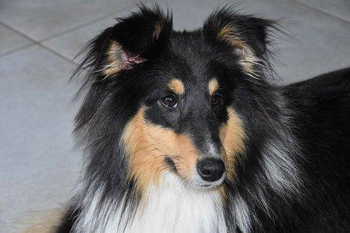 Dog, Shetland Sheepdog, Pup, Dog Breed, Animal