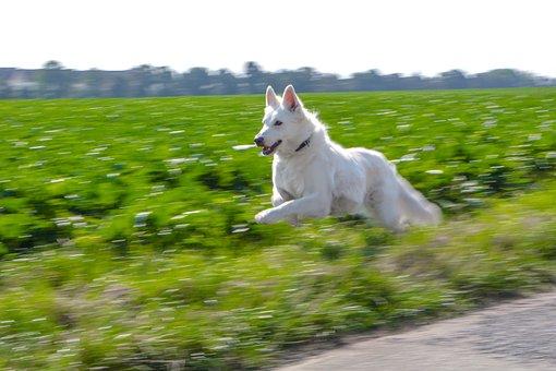 Dog, Schäfer Dog, Pet, Animal, White, Fur Snout, Jump