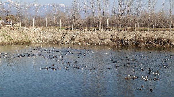 Ducks, Water, Farming, Duck, Bird