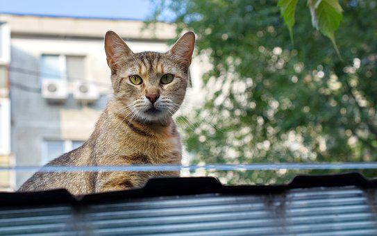 Cat, Pet, Feline, Fur, Gray, Stripes, Seated, Roof