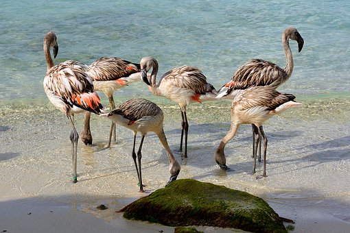 Chili, Chilean, Flamingo, Bird, Beach, Sand, Water