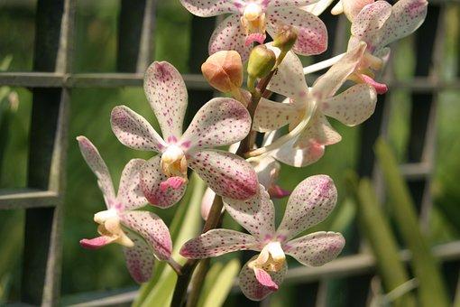 Orchid, Orchids, Flower, Flora, Flowers