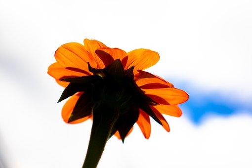 Daisy, Orange Daisy, Flower, Floral