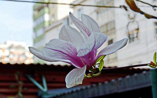 Flower, Magnolia, Petals, Whites, Pink, Purple, Almost