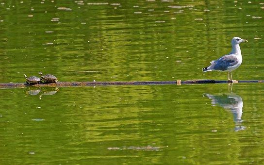 Bird, Gull, Sitting, Log, Water, Lake, Turtles, Small