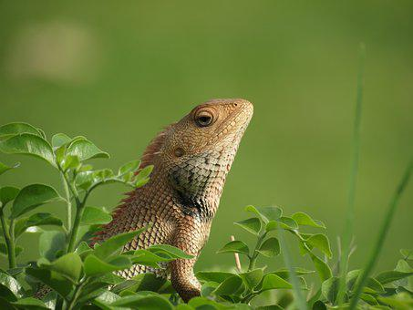 Lizard, Colorful, Head, View, Exotic
