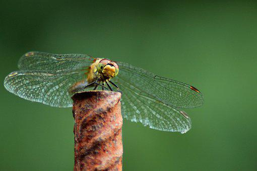 Dragonfly, Insect, Macro, Nature, Wing