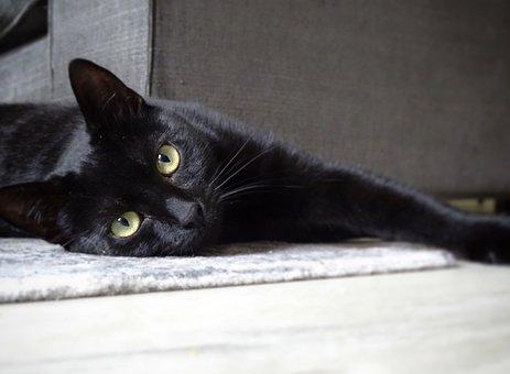 Cat, Cats, Black, Pet, Animal, Animals, Mammal, Kitten