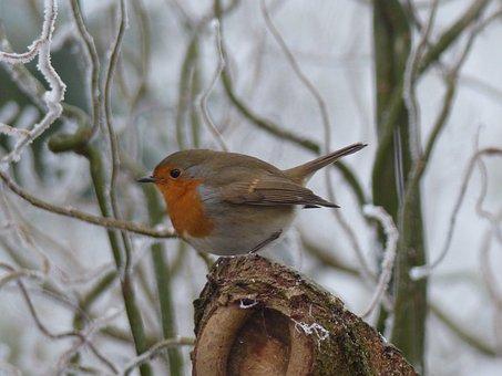 Robin, Bird, Nature, Winter, Cold, Garden, Feathers