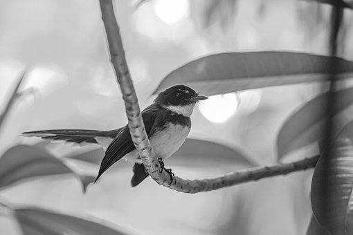Oriental Magpie-robin, Copsychus Saularis, Starling