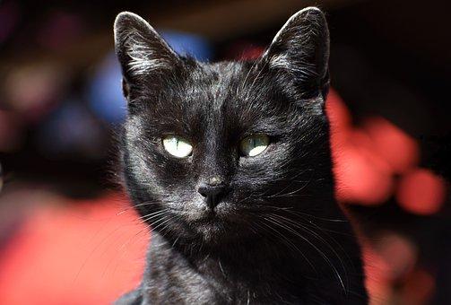 Cat, Tomcat, Home, Portrait, Pet, Animal, Black