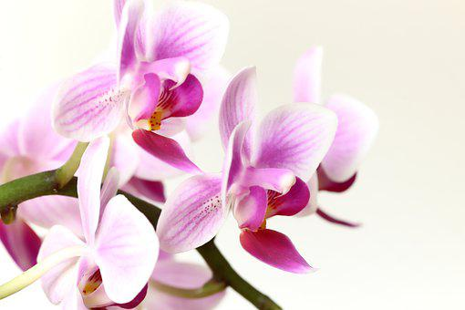 Orchid, Pink, Flower, Plant, Nature, Flora, Blossom