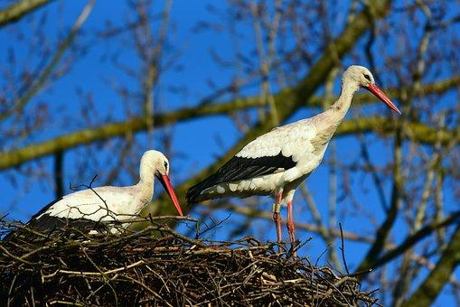 White Stork, Wading Bird, Predator, Animal, Plumage