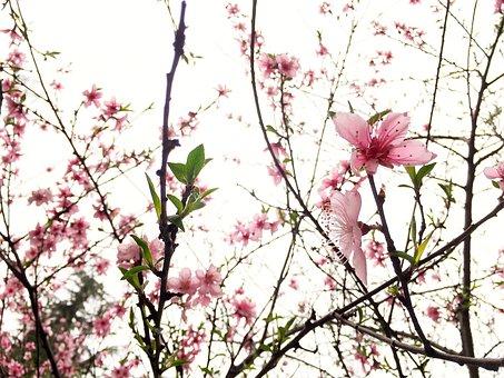 Peach Blossom, Cherry Blossom, Powder Flowers