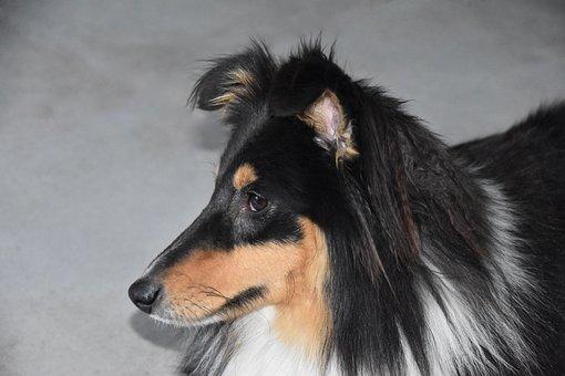 Dog, Shetland Sheepdog, Portrait Of Dog Profile, Pup