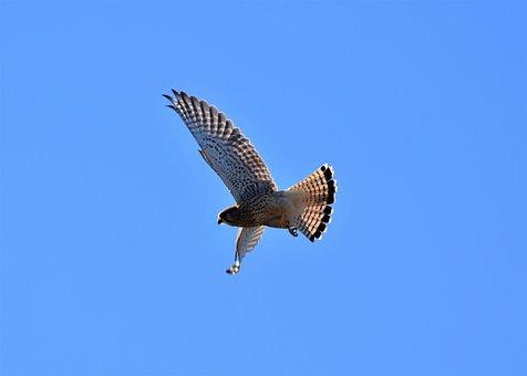 Falcon, Bird Of Prey, Raptor, Wild Animal, Bird, Flight