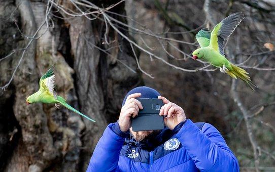 Ring-Necked Parakeet In Flight