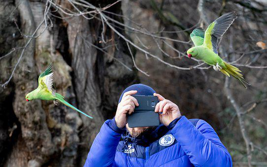 Ring-necked Parakeet In Flight, Rose Ringed Parakeet