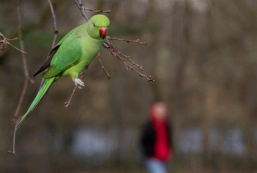 Ring-necked Parakeet In Park, Rose Ringed Parakeet