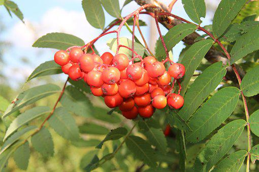Ash, Mountain Ash, Fruits, Rowan, Deciduous Tree, Red