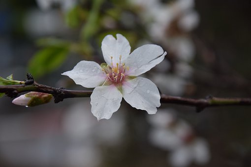 Almond, Flower, Nature, Blossom, Tree