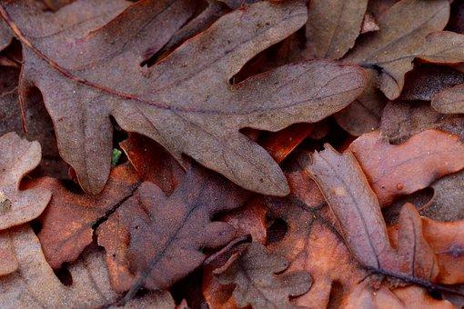 Leaf, Leaves, Oak, Nature, Autumn, Tree