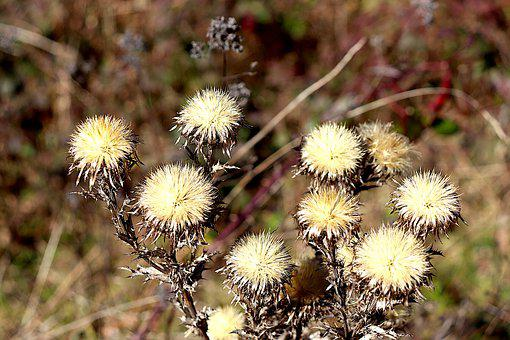 Thistles, Dried, Fields, Field, Winter, Seeds, Plants