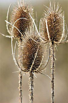 Thistles, Withers, Dry, Nature, Close Up