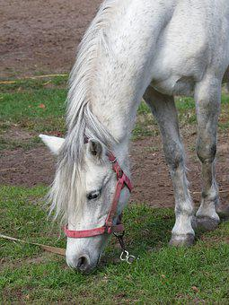 Horse, Animal, Hoary, Browse, Grass