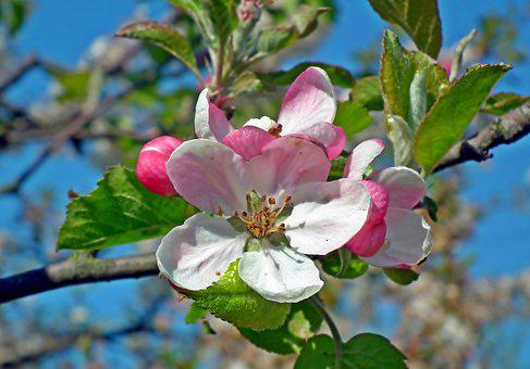 Apple, Flowers, Spring, Sprig, Tree, Garden, Beautiful