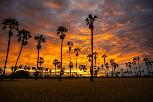 Palm, Rice, Agriculture, Nature, Asia
