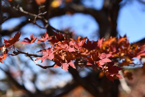 Red Leaf, Autumn, Fall, Hallasan, Korea