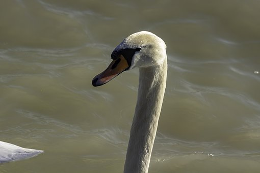 Swan, Cam, Water Bird, Head, Beak