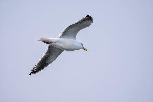Animal, Sky, Bird, Wild Birds, Sea Gull
