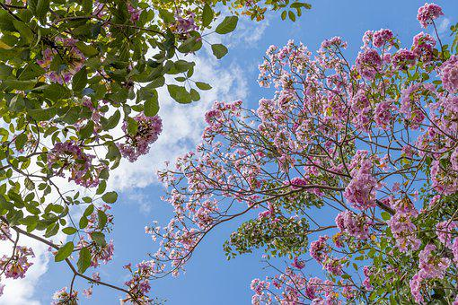 Spring, Saigon, Hoakenhong, Flowers, Nature, Blossom