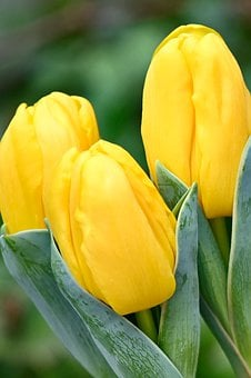 Tulips, Yellow, Bright, Flowers, Spring Flowers