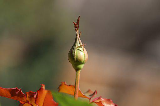 First Bud Of Spring, Rose Bud, Bud, Macro, Red, Pink