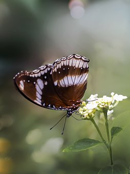 Butterfly, Butterfly Tropical, Insect, Nature, Tropical